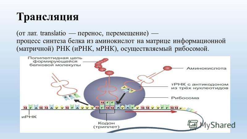Трансляция (от лат. translatio перенос, перемещение) процесс синтеза белка из аминокислот на матрице информационной (матричной) РНК (иРНК, мРНК), осуществляемый рибосомой.