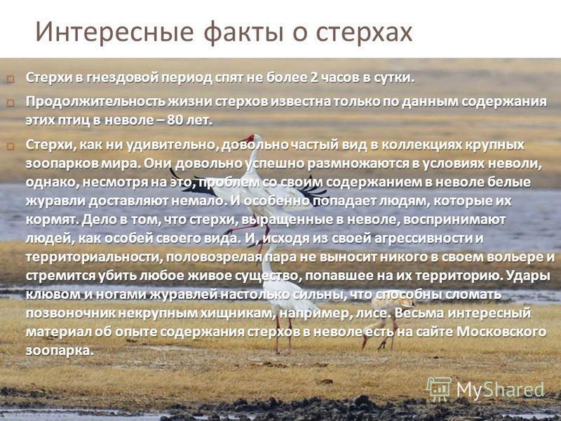 Интересные факты о стерхах Стерхи в гнездовой период спят не более 2 часов в сутки. Стерхи в гнездовой период спят не более 2 часов в сутки. Продолжительность жизни стерхов известна только по данным содержания этих птиц в неволе – 80 лет. Продолжител