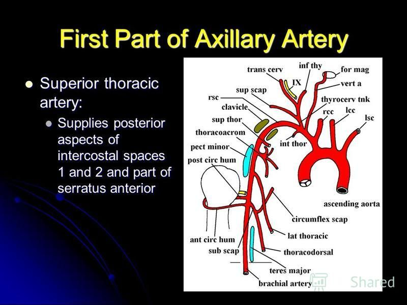 First Part of Axillary Artery Superior thoracic artery: Superior thoracic artery: Supplies posterior aspects of intercostal spaces 1 and 2 and part of serratus anterior Supplies posterior aspects of intercostal spaces 1 and 2 and part of serratus ant