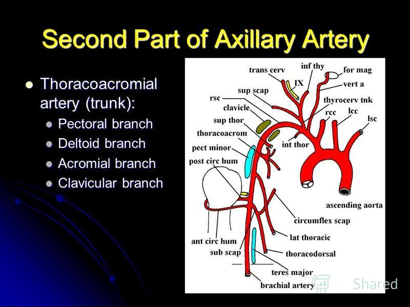 Second Part of Axillary Artery Thoracoacromial artery (trunk): Thoracoacromial artery (trunk): Pectoral branch Pectoral branch Deltoid branch Deltoid branch Acromial branch Acromial branch Clavicular branch Clavicular branch