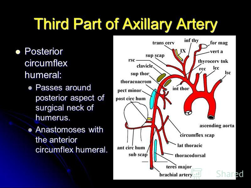 Third Part of Axillary Artery Posterior circumflex humeral: Posterior circumflex humeral: Passes around posterior aspect of surgical neck of humerus. Passes around posterior aspect of surgical neck of humerus. Anastomoses with the anterior circumflex