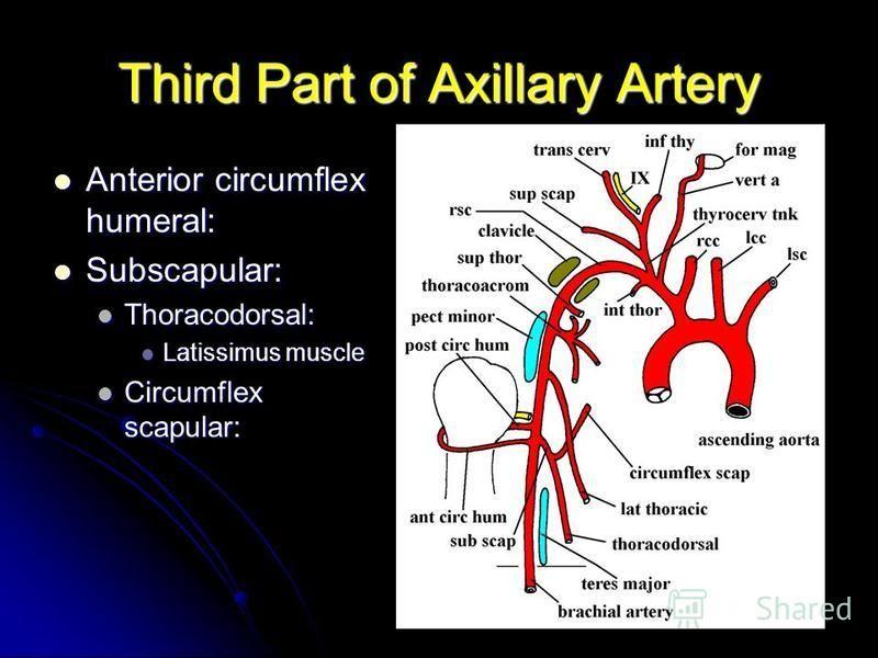 Third Part of Axillary Artery Anterior circumflex humeral: Anterior circumflex humeral: Subscapular: Subscapular: Thoracodorsal: Thoracodorsal: Latissimus muscle Latissimus muscle Circumflex scapular: Circumflex scapular: