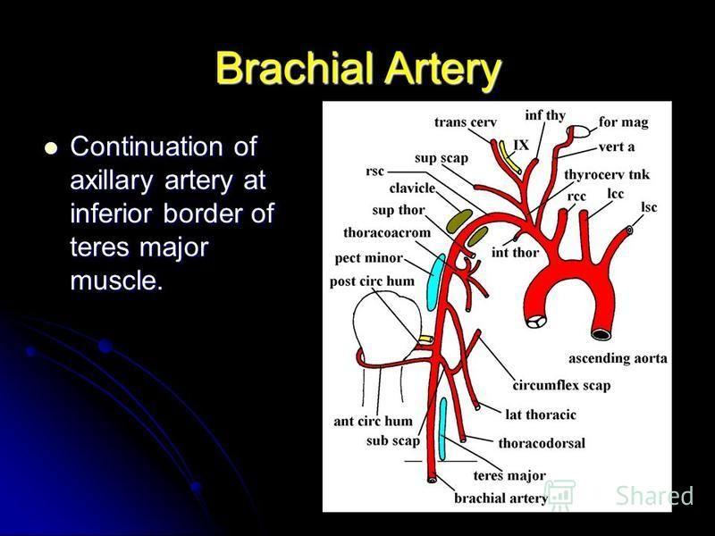 Brachial Artery Continuation of axillary artery at inferior border of teres major muscle. Continuation of axillary artery at inferior border of teres major muscle.