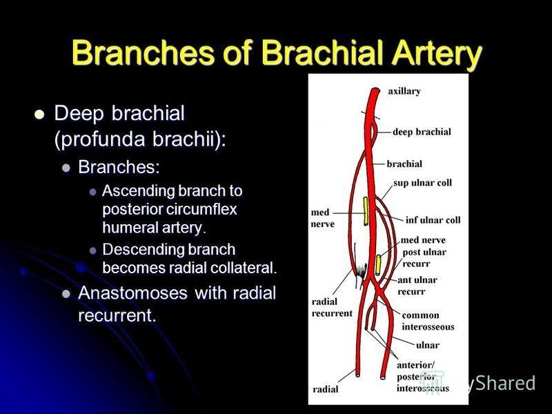 Branches of Brachial Artery Deep brachial (profunda brachii): Deep brachial (profunda brachii): Branches: Branches: Ascending branch to posterior circumflex humeral artery. Ascending branch to posterior circumflex humeral artery. Descending branch be
