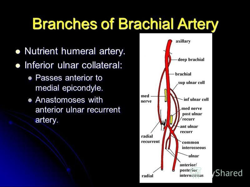 Branches of Brachial Artery Nutrient humeral artery. Nutrient humeral artery. Inferior ulnar collateral: Inferior ulnar collateral: Passes anterior to medial epicondyle. Passes anterior to medial epicondyle. Anastomoses with anterior ulnar recurrent