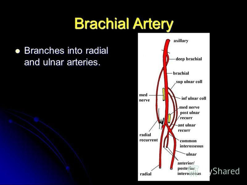Brachial Artery Branches into radial and ulnar arteries. Branches into radial and ulnar arteries.