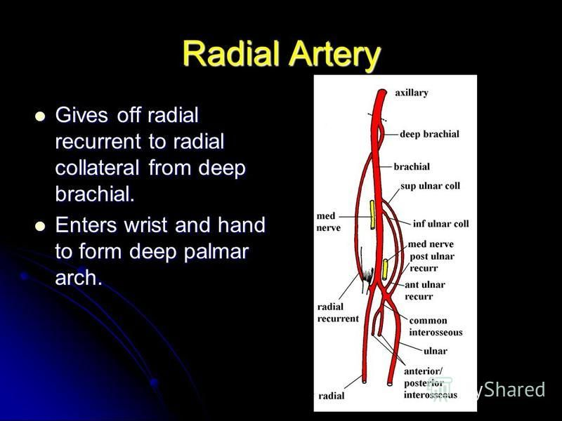Radial Artery Gives off radial recurrent to radial collateral from deep brachial. Gives off radial recurrent to radial collateral from deep brachial. Enters wrist and hand to form deep palmar arch. Enters wrist and hand to form deep palmar arch.