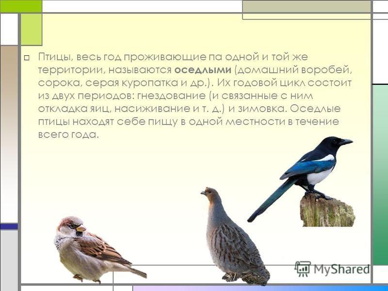 Птицы, весь год проживающие па одной и той же территории, называются оседлыми (домашний воробей, сорока, серая куропатка и др.). Их годовой цикл состоит из двух периодов: гнездование (и связанные с ним откладка яиц, насиживание и т. д.) и зимовка. Ос