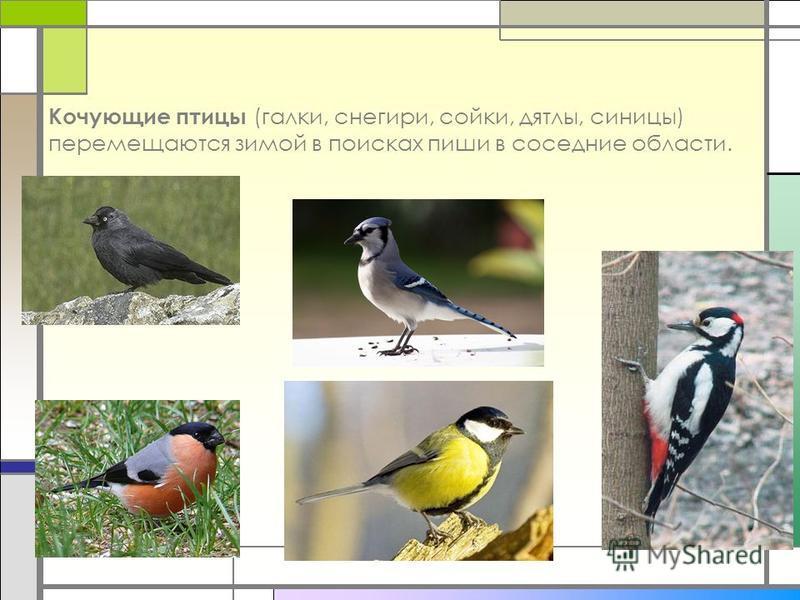 Кочующие птицы (галки, снегири, сойки, дятлы, синицы) перемещаются зимой в поисках пиши в соседние области.