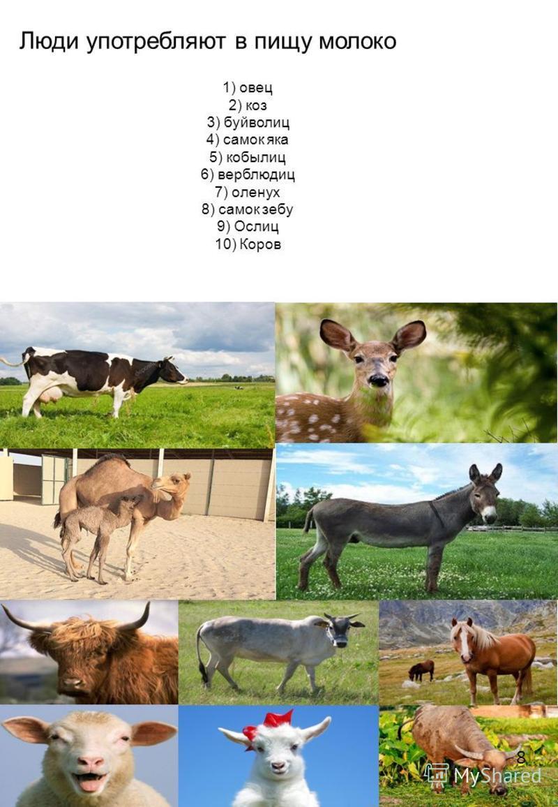 Люди употребляют в пищу молоко 1) овец 2) коз 3) буйволиц 4) самок яка 5) кобылиц 6) верблюдиц 7) оленух 8) самок зебу 9) Ослиц 10) Коров 8