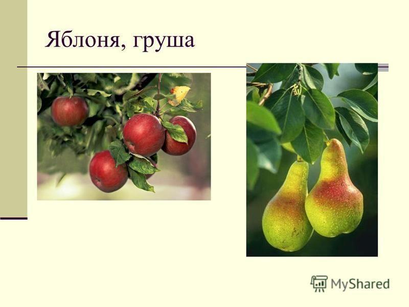 Яблоня, груша