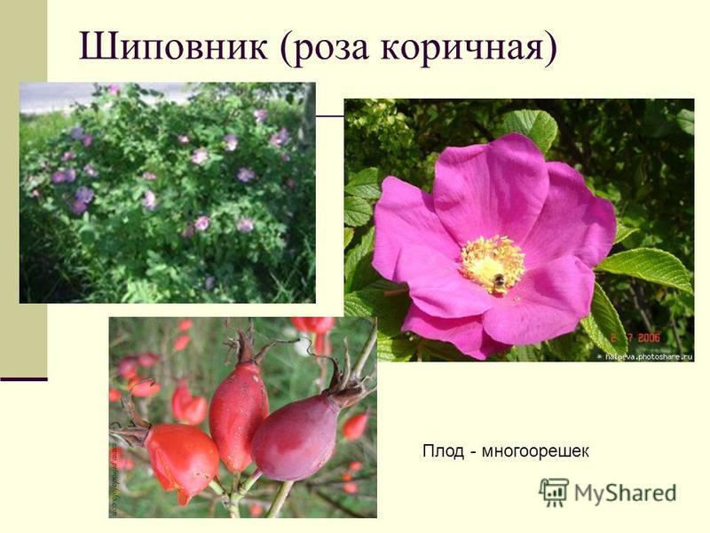 Шиповник (роза коричная) Плод - многоорешек