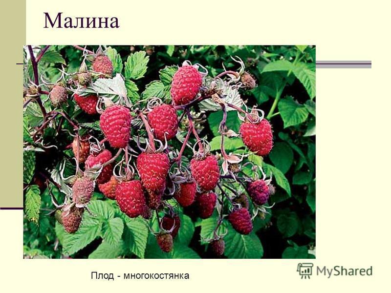 Малина Плод - многокостянка