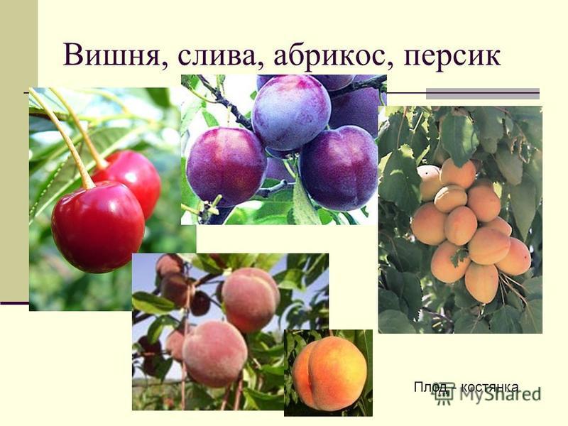 Вишня, слива, абрикос, персик Плод - костянка