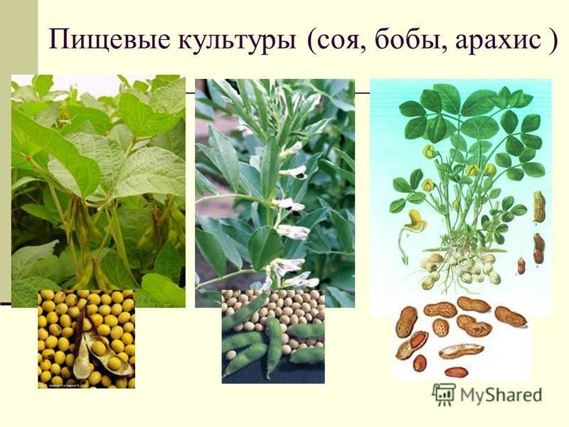 Пищевые культуры (соя, бобы, арахис )