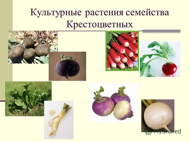 Культурные растения семейства Крестоцветных