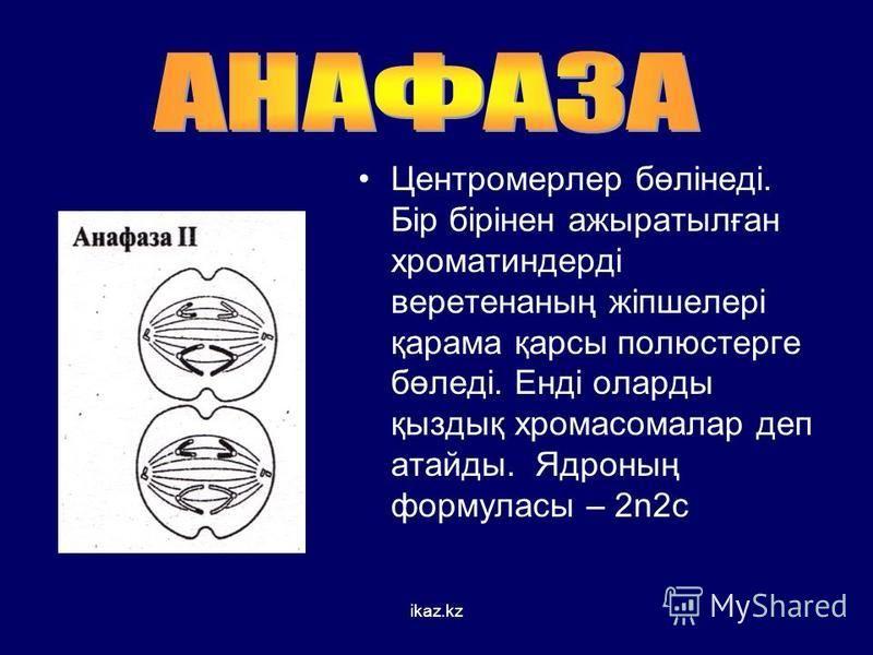 Центромерлер бөлінеді. Бір бірінен ажыратылған хроматиндерді веретенаның жіпшелері қарама қарсы полюстерге бөледі. Енді оларды қыздық хромосомалар деп атайды. Ядроның формуласы – 2n2c ikaz.kz