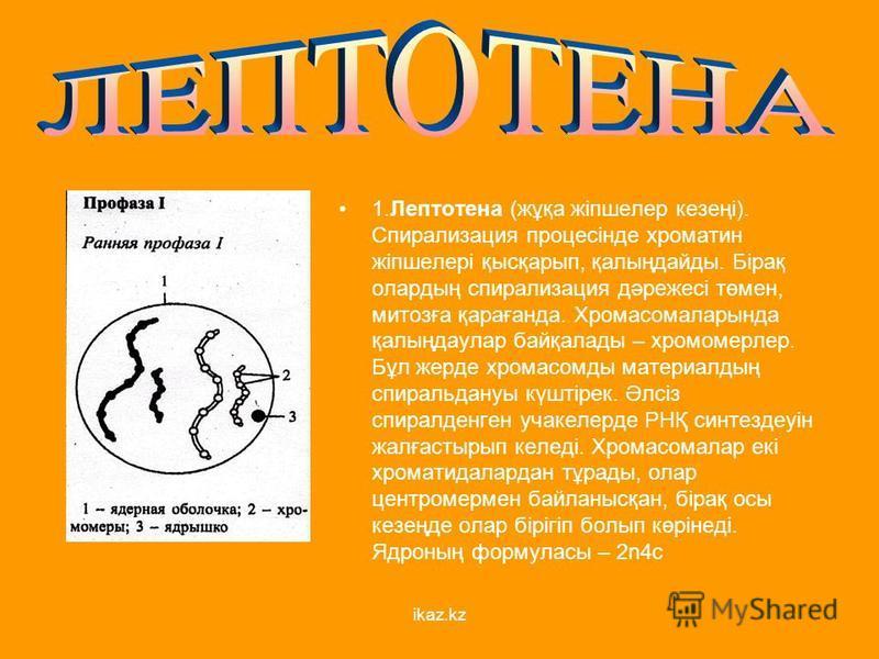 1. Лептотена (жұқа жіпшелер кезеңі). Спирализация процесінде хроматин жіпшелері қысқарып, қалыңдайды. Бірақ олардың спирализация дәрежесі төмен, митозға қарағанда. Хромасомаларында қалыңдаулар байқалады – хромомерлер. Бұл жердь хромасомды материалдың