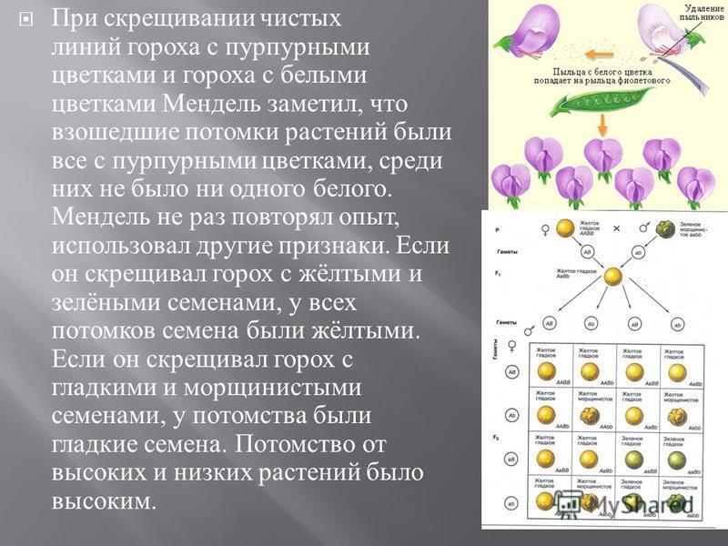 При скрещивании чистых линий гороха с пурпурными цветками и гороха с белыми цветками Мендель заметил, что взошедшие потомки растений были все с пурпурными цветками, среди них не было ни одного белого. Мендель не раз повторял опыт, использовал другие