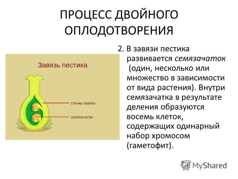 ПРОЦЕСС ДВОЙНОГО ОПЛОДОТВОРЕНИЯ 2. В завязи пестика развивается семязачаток (один, несколько или множество в зависимости от вида растения). Внутри семязачатка в результате деления образуются восемь клеток, содержащих одинарный набор хромосом (гаметоф