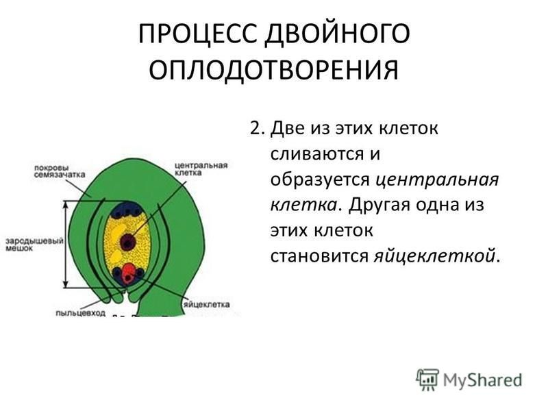 ПРОЦЕСС ДВОЙНОГО ОПЛОДОТВОРЕНИЯ 2. Две из этих клеток сливаются и образуется центральная клетка. Другая одна из этих клеток становится яйцеклеткой.