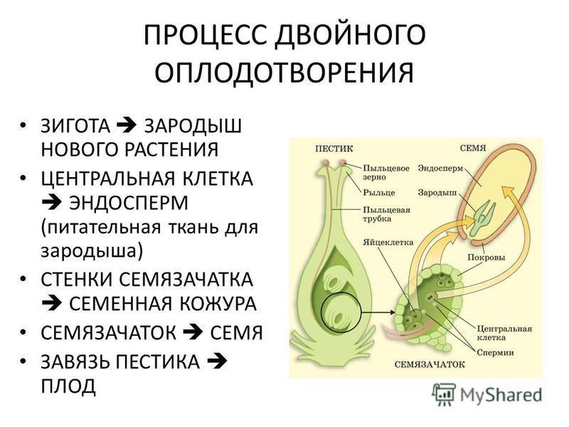 ПРОЦЕСС ДВОЙНОГО ОПЛОДОТВОРЕНИЯ ЗИГОТА ЗАРОДЫШ НОВОГО РАСТЕНИЯ ЦЕНТРАЛЬНАЯ КЛЕТКА ЭНДОСПЕРМ (питательная ткань для зародыша) СТЕНКИ СЕМЯЗАЧАТКА СЕМЕННАЯ КОЖУРА СЕМЯЗАЧАТОК СЕМЯ ЗАВЯЗЬ ПЕСТИКА ПЛОД