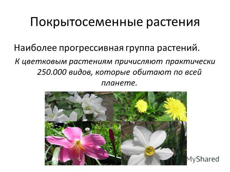Покрытосеменные растения Наиболее прогрессивная группа растений. К цветковым растениям причисляют практически 250.000 видов, которые обитают по всей планете.