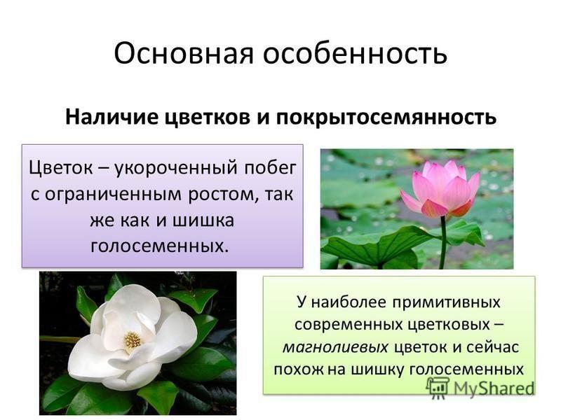 Основная особенность Наличие цветков и покрытосемянность Цветок – укороченный побег с ограниченным ростом, так же как и шишка голосеменных. У наиболее примитивных современных цветковых – магнолиевых цветок и сейчас похож на шишку голосеменных