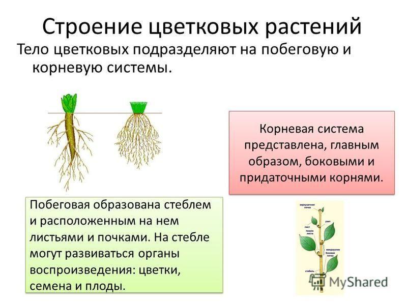 Строение цветковых растений Тело цветковых подразделяют на побеговую и корневую системы. Корневая система представлена, главным образом, боковыми и придаточными корнями. Побеговая образована стеблем и расположенным на нем листьями и почками. На стебл