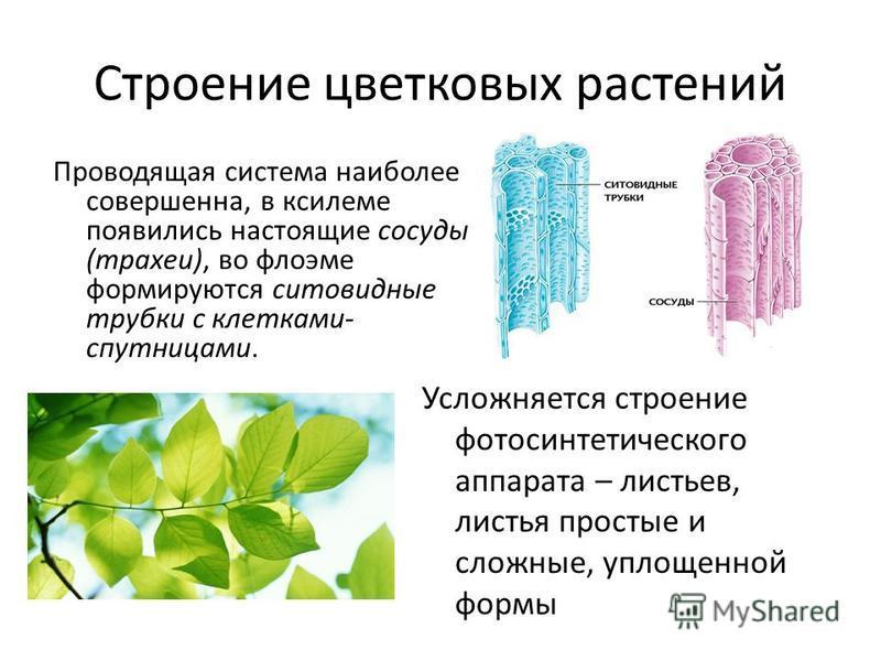 Строение цветковых растений Проводящая система наиболее совершенна, в ксилеме появились настоящие сосуды (трахеи), во флоэме формируются ситовидные трубки с клетками- спутницами. Усложняется строение фотосинтетического аппарата – листьев, листья прос