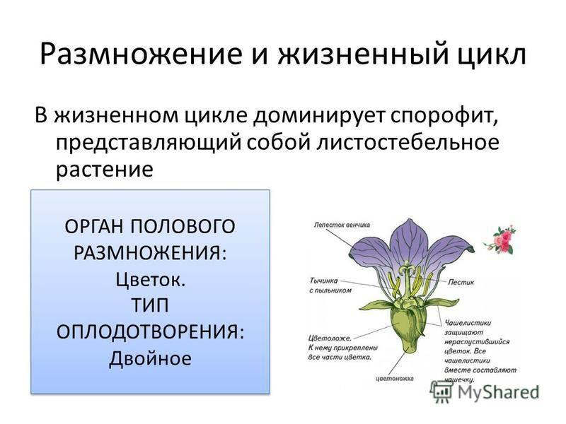 Размножение и жизненный цикл В жизненном цикле доминирует спорофит, представляющий собой листостебельное растение ОРГАН ПОЛОВОГО РАЗМНОЖЕНИЯ: Цветок. ТИП ОПЛОДОТВОРЕНИЯ: Двойное ОРГАН ПОЛОВОГО РАЗМНОЖЕНИЯ: Цветок. ТИП ОПЛОДОТВОРЕНИЯ: Двойное