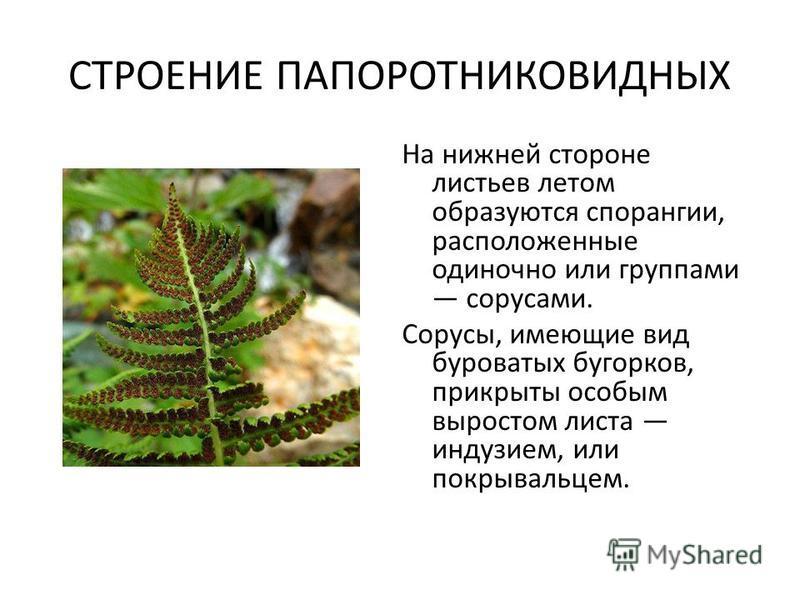 СТРОЕНИЕ ПАПОРОТНИКОВИДНЫХ На нижней стороне листьев летом образуются спорангии, расположенные одиночно или группами сорусами. Сорусы, имеющие вид буроватых бугорков, прикрыты особым выростом листа индузием, или покрывальцем.