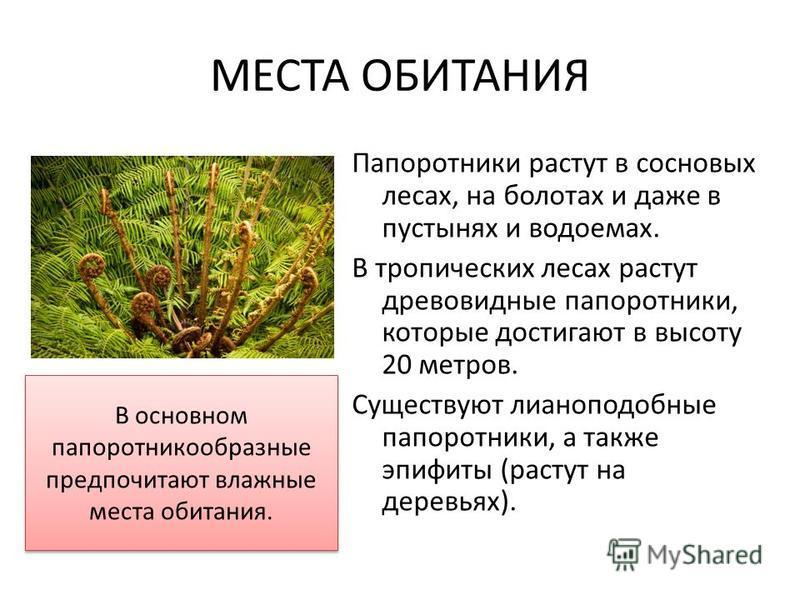 МЕСТА ОБИТАНИЯ Папоротники растут в сосновых лесах, на болотах и даже в пустынях и водоемах. В тропических лесах растут древовидные папоротники, которые достигают в высоту 20 метров. Существуют лианоподобные папоротники, а также эпифиты (растут на де