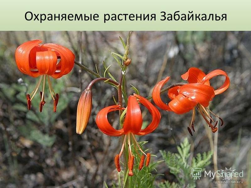 Охраняемые растения Забайкалья