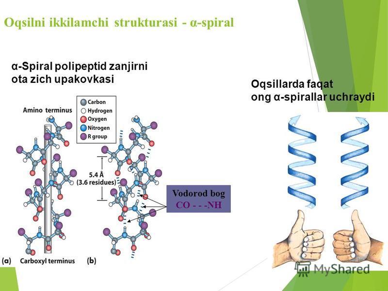 Oqsilni ikkilamchi strukturasi - α-spiral Oqsillarda faqat ong α-spirallar uchraydi α-Spiral polipeptid zanjirni ota zich upakovkasi Vodorod bog СО - - -NH