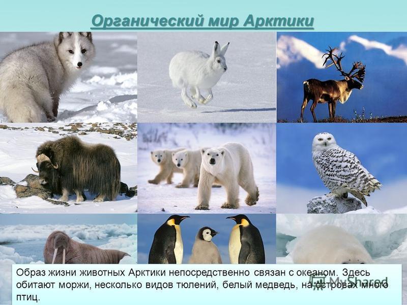 Органический мир Арктики Образ жизни животных Арктики непосредственно связан с океаном. Здесь обитают моржи, несколько видов тюлений, белый медведь, на островах много птиц.