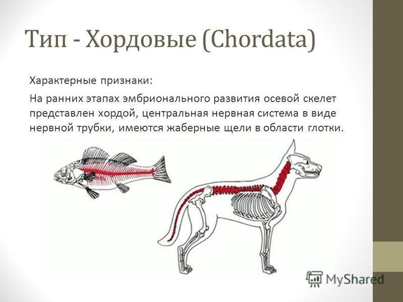 Тип - Хордовые (Chordata) Характерные признаки: На ранних этапах эмбрионального развития осевой скелет представлен хордой, центральная нервная система в виде нервной трубки, имеются жаберные щели в области глотки.