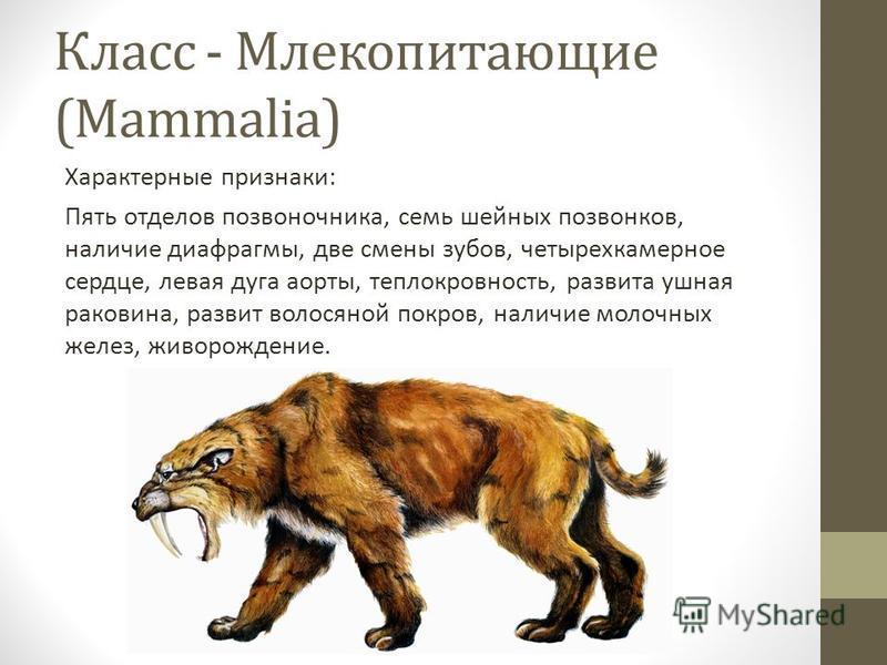 Класс - Млекопитающие (Mammalia) Характерные признаки: Пять отделов позвоночника, семь шейных позвонков, наличие диафрагмы, две смены зубов, четырехкамерное сердце, левая дуга аорты, теплокровность, развита ушная раковина, развит волосяной покров, на