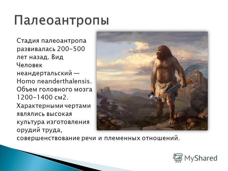 Стадия палеоантропа развивалась 200-500 лет назад. Вид Человек неандертальский Homo neanderthalensis. Объем головного мозга 1200-1400 см 2. Характерными чертами являлись высокая культура изготовления орудий труда, совершенствование речи и племенных о