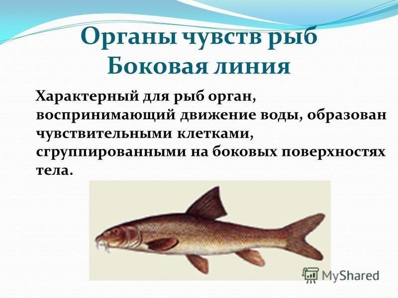 Органы чувств рыб Боковая линия Характерный для рыб орган, воспринимающий движение воды, образован чувствительными клетками, сгруппированными на боковых поверхностях тела.