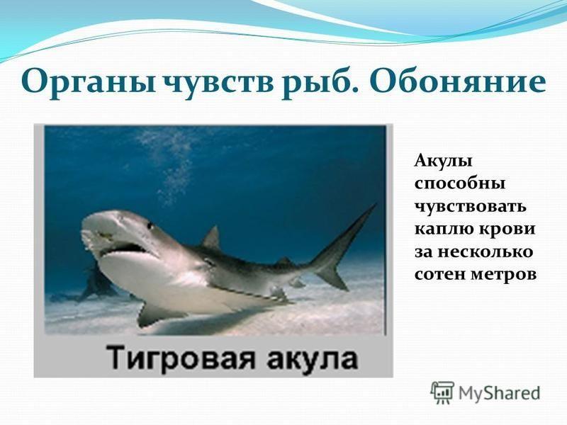 Органы чувств рыб. Обоняние Акулы способны чувствовать каплю крови за несколько сотен метров