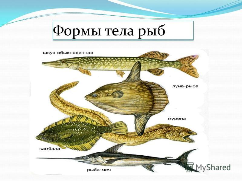 Формы тела рыб