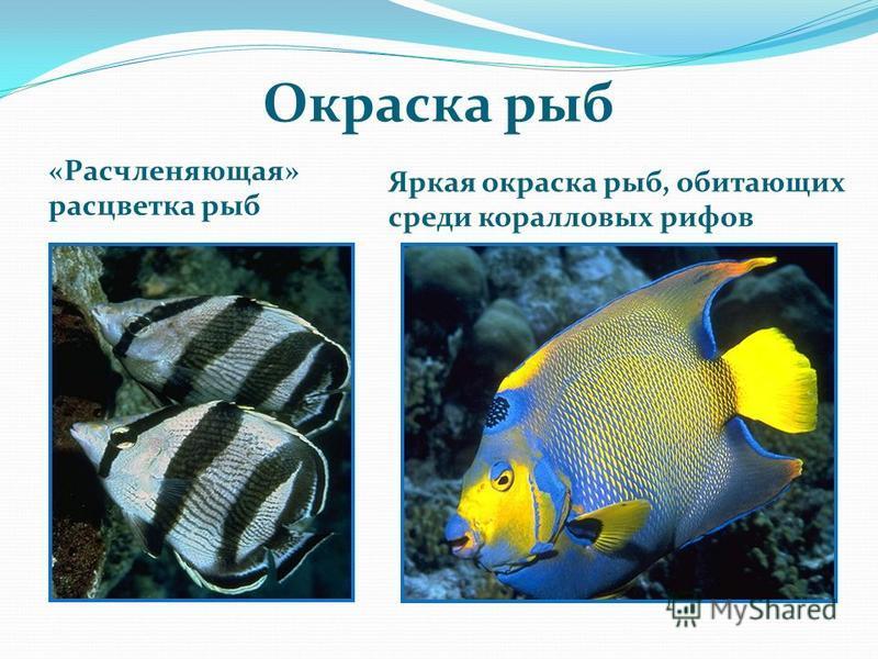 Окраска рыб «Расчленяющая» расцветка рыб Яркая окраска рыб, обитающих среди коралловых рифов