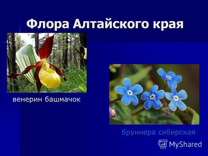 Флора Алтайского края венерин башмачок бруннера сибирская