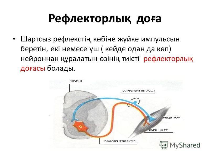 Рефлекторлық доға Шартсыз рефлекстің көбіне жүйке импульсын беретін, екі немесе үш ( кейде одан да көп) нейроннан құралатын өзінің тиісті рефлекторлық доғасы болады.