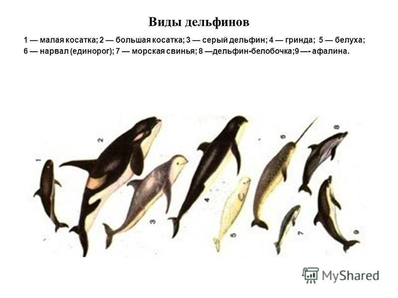 Виды дельфинов 1 малая косатка; 2 большая косатка; 3 серый дельфин; 4 гринда; 5 белуха; 6 нарвал (единорог); 7 морская свинья; 8 дельфин-белобочка;9 - афалина.