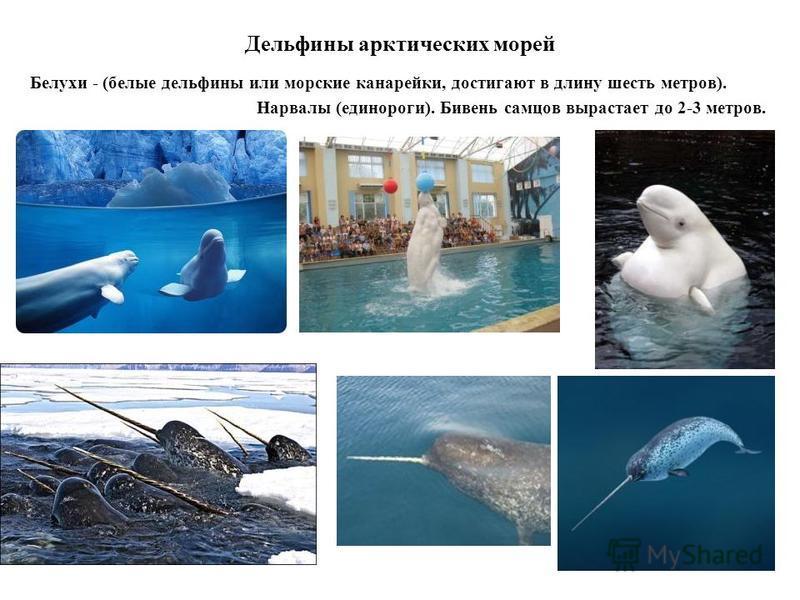 Дельфины арктических морей Белухи - (белые дельфины или морские канарейки, достигают в длину шесть метров). Нарвалы (единороги). Бивень самцов вырастает до 2-3 метров.