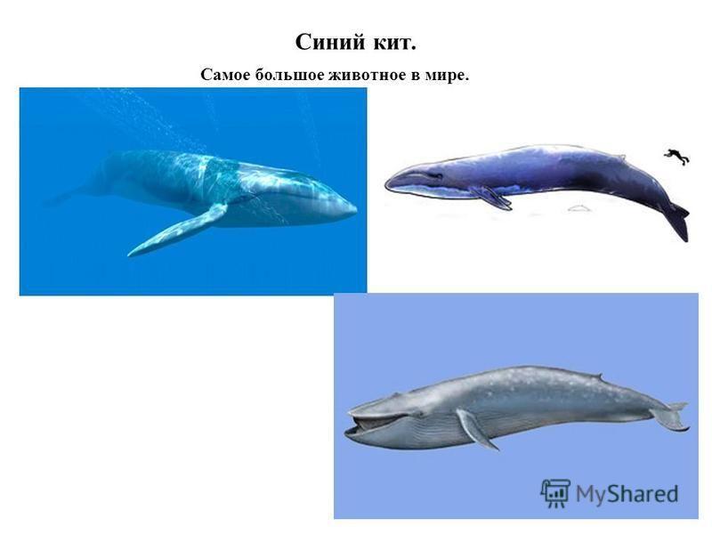 Синий кит. Самое большое животное в мире.