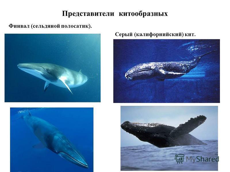 Представители китообразных Финвал (сельдяной полосатик). Серый (калифорнийский) кит.