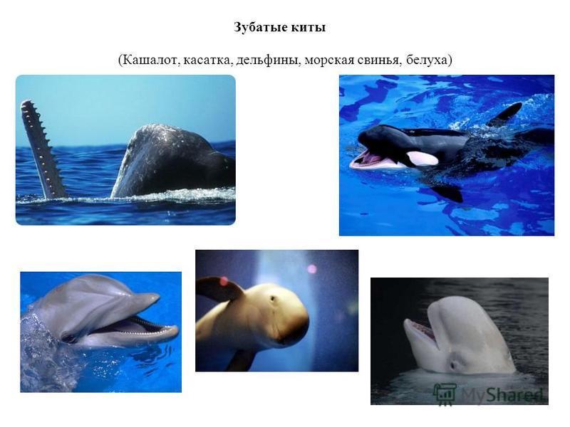 Зубатые киты (Кашалот, касатка, дельфины, морская свинья, белуха)